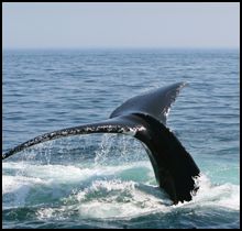 Whale Watching on Cape Cod
