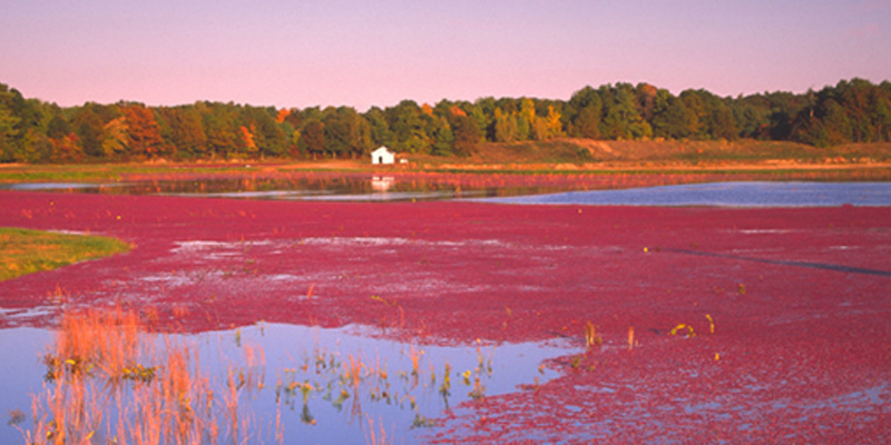 Cranberry Bog in the Fall